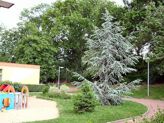 نبذة عن شجرة الأرز Cedre_de_l_atlas_rue_Alexandre_Fleming_2_mai_2003